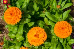 Bright orange calendula flowers against lush green foliage on th. E background. Floral nature background Royalty Free Stock Images