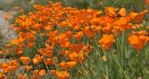 California Poppy Eschscholzia californica in meadow Stock Images