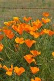 California Poppy Eschscholzia californica in meadow Royalty Free Stock Photos