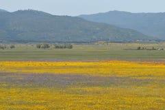 California Poppy Eschscholzia californica in meadow Stock Photos