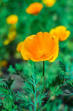 Bright orange california poppies in full bloom Eschscholzia californica Royalty Free Stock Images