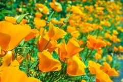 Bright orange california poppies in full bloom Eschscholzia californica Royalty Free Stock Image