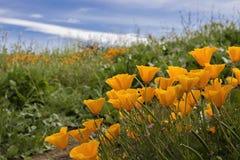 Bright Orange California Poppies in Green Field under Blue Sky royalty free stock photo