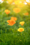 Bright orange california poppy Stock Image