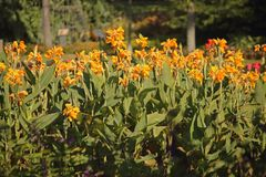 BRIGHT ORANGE CANNA FLOWERS IN THE SUNLIGHT royalty free stock photography