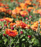 Bright orange Chrysanthemum flowers Stock Photos