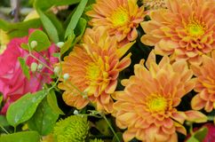 Bright orange composition of fresh autumn chrysanthemums Stock Images