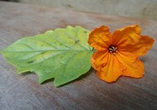 Bright orange Cordia flower and green leaf Royalty Free Stock Image