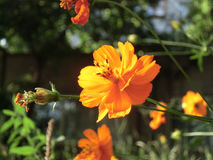 Bright orange cosmos flower in sunny summer day.  Royalty Free Stock Photography