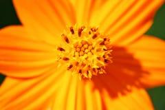 The bright orange cosmos. The bright orange pollen cosmos Royalty Free Stock Images