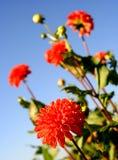 Bright orange dahlias Royalty Free Stock Photos