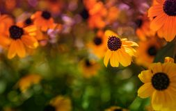 Greeting card with bright hot orange flowers. Bright orange Echinacea flower with coned black and purple center. Unfocused meadow with other orange and pink royalty free stock photo