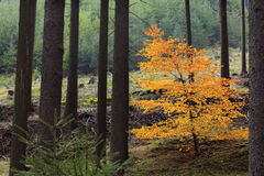 Bright orange European beech tree in a forest Royalty Free Stock Image