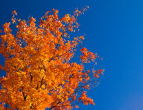 Bright Orange Fall Leaves on Blue Sky. Bright colorful orange fall tree leaves on blue sky background stock photo