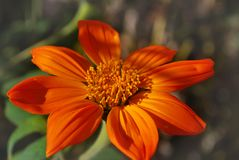 Bright orange flower. On a background of green leaves Royalty Free Stock Images