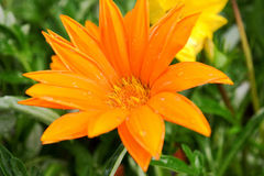 Bright orange flower. Beautiful bright  orange flower with water droplets Royalty Free Stock Images