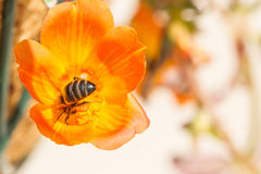 Bright orange flower with a bee in the centre upsidedown. Stock Photos
