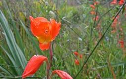 BRIGHT ORANGE FLOWER OF A CANNA. Flowering orange cannas in a garden Stock Image