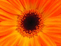 Bright orange flower with copy space. Bright orange flower shot using tungsten bulbs, with no photoshop colour correction Royalty Free Stock Photos