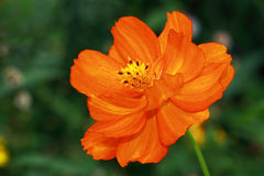 Bright orange flower of Cosmea- Cosmea sulphureus. Cosmea sulphureus flowers bloom all summer and are also suitable as cut flowers Royalty Free Stock Image