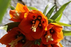 Bright orange flower of a Fritillaria Imperialis. Fritillaria Imperialis also known as: Crown Imperial, Imperial Fritillary or Kaiser`s Crown. Close up view from Royalty Free Stock Photo