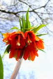 Bright orange flower of a Fritillaria Imperialis. Fritillaria Imperialis also known as: Crown Imperial, Imperial Fritillary or Kaiser`s Crown. Close up view from Stock Photos