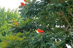 ORANGE FLOWERS ON A TREE IN A GARDEN. Bright orange flower growing on a tree with green foliage and branches in a garden Royalty Free Stock Photo