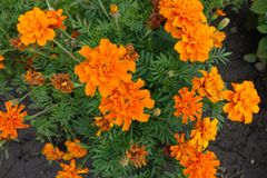 Bright orange flowerheads of Tagetes patula from above. Bright orange flower heads of Tagetes patula from above stock photo