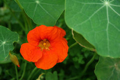 Bright orange flower. Bright Indian cress flower in the green leaves Stock Image