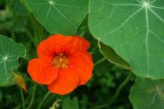 Bright orange flower Stock Image