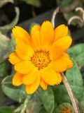 Bright Orange Flower. Pretty flower with orangey yellow petals. The flower is surrounded by other green plants, but the bright colours make it stand out Stock Images