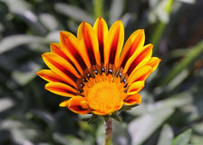 Bright orange flower Royalty Free Stock Image