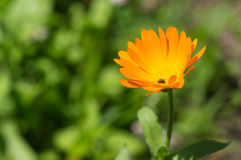Bright orange flower in a summer garden Royalty Free Stock Photography
