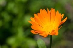 Bright orange flower in a sunny day Stock Images