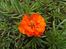 Orange flower. Bright orange flower with unusual leaves Royalty Free Stock Photography