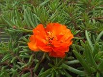 Orange flower. Bright orange flower with unusual leaves Stock Images