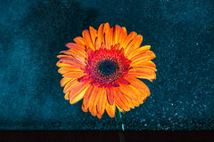Bright orange flower with water splashes on it against dark back. Gerbera flower in orange color against dark black, blue background with water splashed on the Stock Image