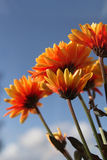 Bright orange flowers. Against a blue sky Royalty Free Stock Photos