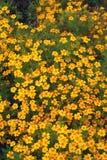Bright orange flowers Royalty Free Stock Images