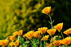 Bright orange flowers of calendula lt by warm sunlight. Summer sunset landscape. Selective focus at the upper flower Royalty Free Stock Images