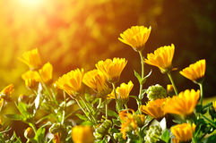 Bright orange flowers of calendula under sunset light. Field of bright orange calendula flowers under sunset beams. Summer colorful landscape. Selective focus at Stock Image