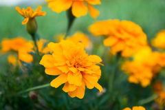 Bright orange flowers Stock Image