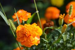 Bright orange flowers with drops of water Stock Images