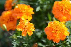 Bright orange flowers with drops of water Royalty Free Stock Image