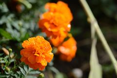 Bright orange flowers with drops of water in the garden Royalty Free Stock Image