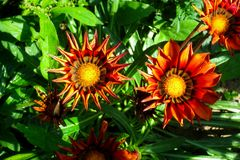 Bright orange flowers Gazania rigens in the garden. royalty free stock photography
