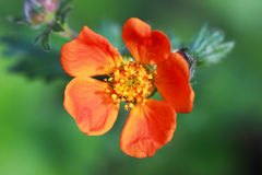 Bright orange flowers of Geum coccineum Royalty Free Stock Photos
