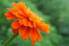 Bright orange  flowers on green Stock Photo