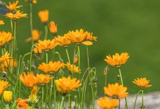 Free Bright Orange Flowers In The Park Royalty Free Stock Images - 154331189