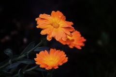Bright orange flowers with water drops Stock Image